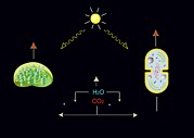 Energy Conversion Prints - Photosynthesis, Artwork Print by Francis Leroy, Biocosmos