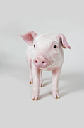 Standing Framed Prints - Piglet, Studio Shot Framed Print by Paul Hudson