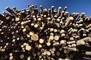 Large Group Of Objects Art - Pine Pinus Sp Logs Drying by Konrad Wothe