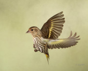 Birds In Flight Photos - Pine Siskin in Flight by Gerry Sibell