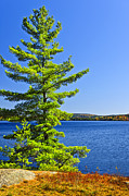 Rocky Shore Prints - Pine tree at lake shore Print by Elena Elisseeva
