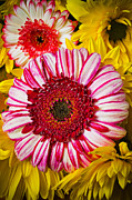 Flower Design Framed Prints - Pink and yellow mums Framed Print by Garry Gay