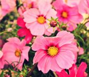 Decor.pink.green Flowers Posters - Pink Cosmos Poster by Cathie Tyler