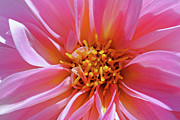 Photograph Of Dahlia Prints - Pink Dahlia Print by Joan Powell