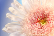 Attractive Art - Pink daisy  by Sandra Cunningham