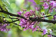 Flower Photo Prints - Pink flowers of the Love Tree Print by Frank Tschakert