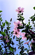 Backlit Prints - Pink Hibiscus Print by Kevin Smith