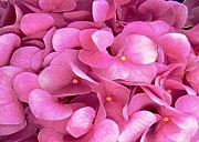 Floral Notecards Posters - Pink Hydrangeas Poster by Dale   Ford
