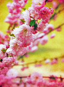 Blossom Photos - Pink by Kristin Kreet
