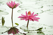 Flower Blooming Originals - Pink lotus by Anek Suwannaphoom