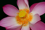 Chatchawin Jampapha - Pink Lotus Flower...