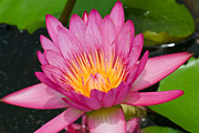 Chatchawin Jampapha - Pink Lotus In Thailand