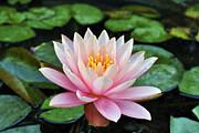 Pink Lotus Print by Sumit Mehndiratta