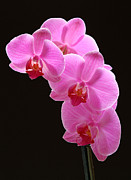 Orchidaceae Framed Prints - Pink Orchids Framed Print by Juergen Roth