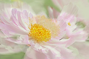 Macro Flower Prints - Pink Peony Flower  Print by Jennie Marie Schell