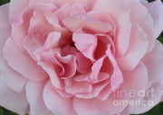 Pinks Posters - Pink Rose Closeup Poster by Carol Groenen