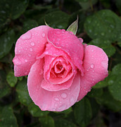 Dew Covered Posters - Pink rose macro shot with rain drops Poster by Nicholas Burningham