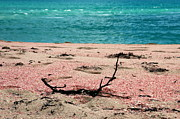 Outdoors Photo Originals - Pink Sand Beach by Sophie Vigneault