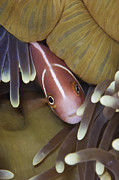 Confined Framed Prints - Pink Skunk Clownfish In Its Host Framed Print by Terry Moore