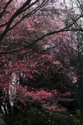 2009 Digital Art Prints - Pink Trees Print by Craig Perry-Ollila