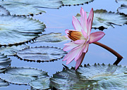 Florida Flower Posters - Pink Water Lily Poster by Sabrina L Ryan