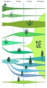 Division: Pinophyta Framed Prints - Plant Evolution, Diagram Framed Print by Gary Hincks