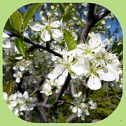 Plum Framed Prints - Plum Blossoms Framed Print by Will Borden