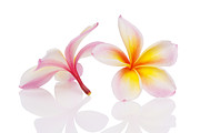 Exotic Art - Plumeria or Leelawadee by Atiketta Sangasaeng