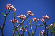 Outdoor Still Life Art - Plumeria by Tomas del Amo - Printscapes