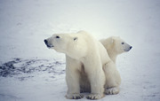 Ursus Maritimus Prints - Polar Bear And Cub Print by Chris Martin-bahr