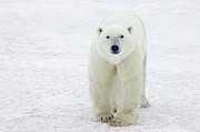 Polar Bear Ursus Maritimus Male Print by Matthias Breiter