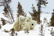 Animal Behavior Prints - Polar Bear Ursus Maritimus Trio Print by Matthias Breiter