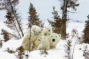 Polar Bear Ursus Maritimus Trio Print by Matthias Breiter