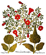 Major Prints - Pomegranate, 1613 Print by Granger