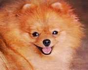 Dog Photo Photos - Pomeranian Portrait by Jai Johnson