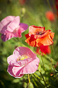Flower Blooming Photos - Poppies in a garden by Elena Elisseeva