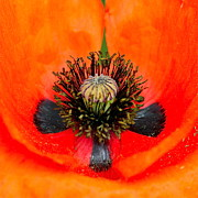Inflorescence Framed Prints - Poppy Heart Framed Print by Karon Melillo DeVega