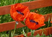 Poppy Gifts Metal Prints - Poppy pair Metal Print by Ed Lukas
