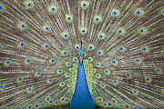 Up Close. Texture Originals - Portrait and close up of peacock  by Anek Suwannaphoom