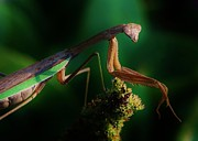Praying Mantis Photos - Portrait Of A Praying Mantis by Joy DiNardo Bradley         DiNardo Designs