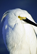 Snowy Egret Framed Prints - Portrait of a Snowy Egret Framed Print by Vicki Jauron