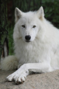 White Wolf Posters - Posing For The Camera Poster by Gerry Sibell