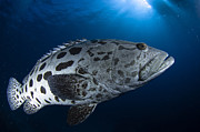 Markings Photo Prints - Potato Grouper, Australia Print by Todd Winner