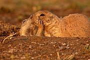 Prairie Dog Photos - Prairie Dog Tender Sunset Kiss by Max Allen