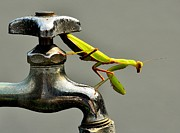 Faucet Photos - Praying Mantis by Dean Harte