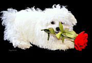 White Maltese Photos - Precious....... by Tanya Tanski