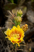 Prickly Framed Prints - Prickly Bloom Framed Print by Robert Anschutz