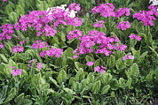 Primroses Photo Metal Prints - Primrose Flowers (primula Patens) Metal Print by Dr. Nick Kurzenko