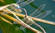 Dragonflies Metal Prints - Privacy Requested Metal Print by Fraida Gutovich