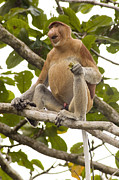 Proboscis Photos - Proboscis Monkey by Matthew Oldfield